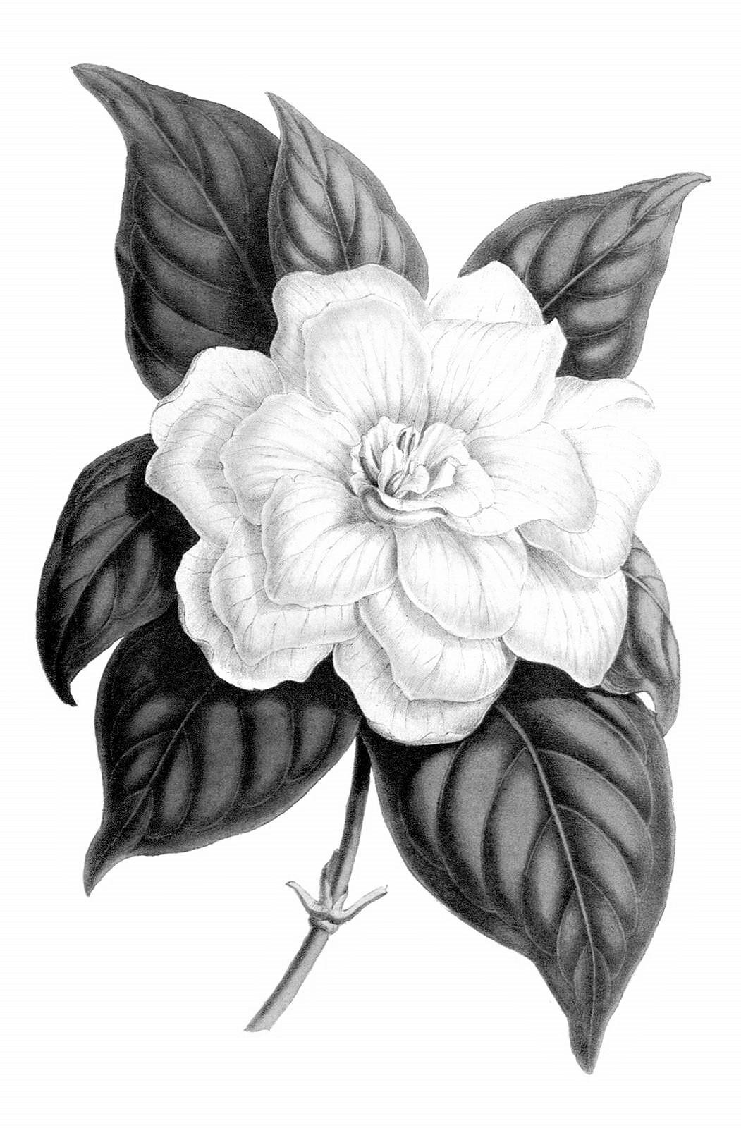 70 gardenia jasminoides 1600
